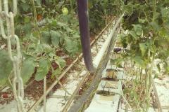 Termálenergia a primör kertészetben, Hódmezővásárhelyen